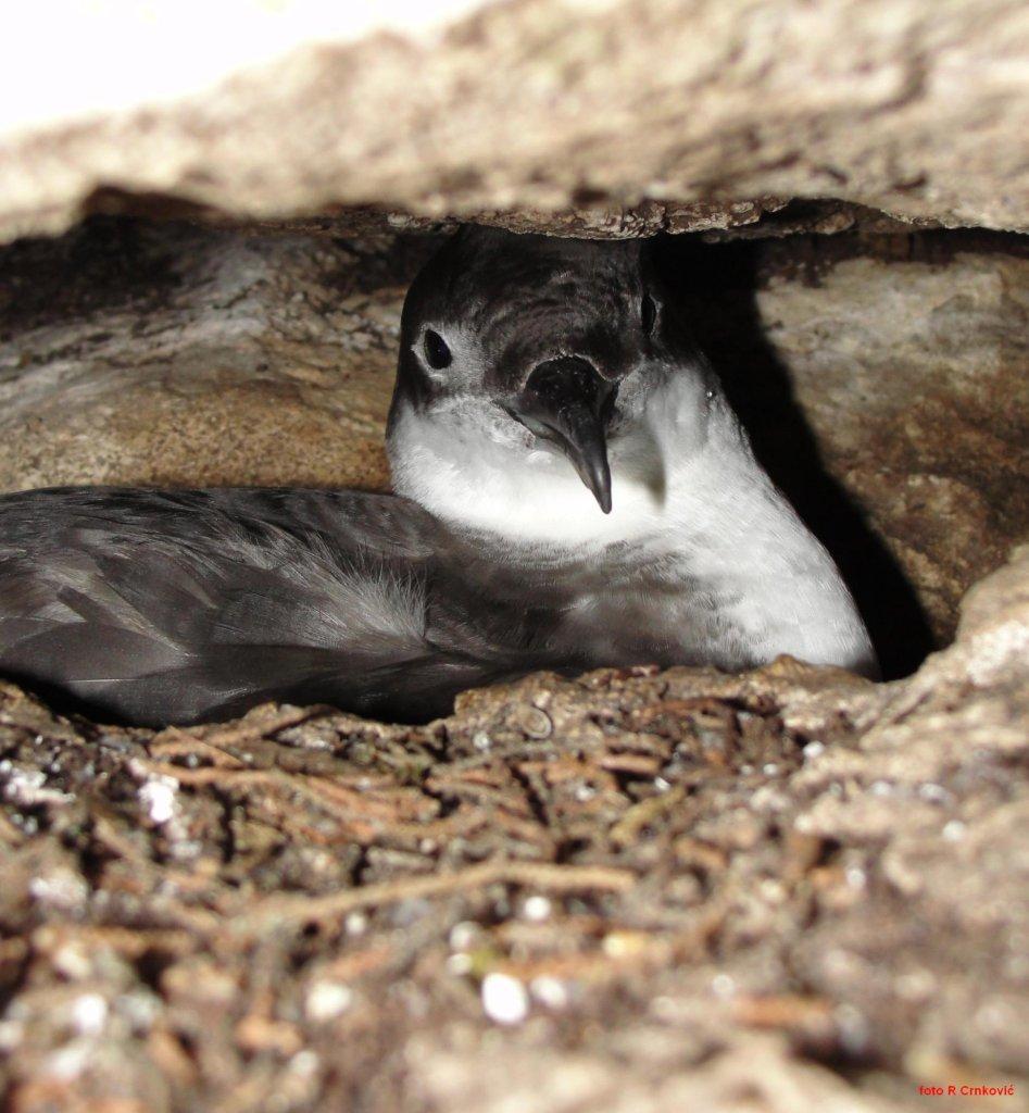 """Nastavljamo s terenskim istraživanjima: upoznajte volontere projekta LIFE Artina – """"Mreža za očuvanje morskih ptica u Jadranu"""""""